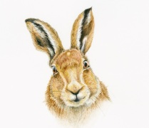 1_hare_brown_friendly_face