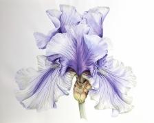 1_bearded-iris