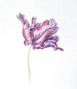 1_parrot-tulip