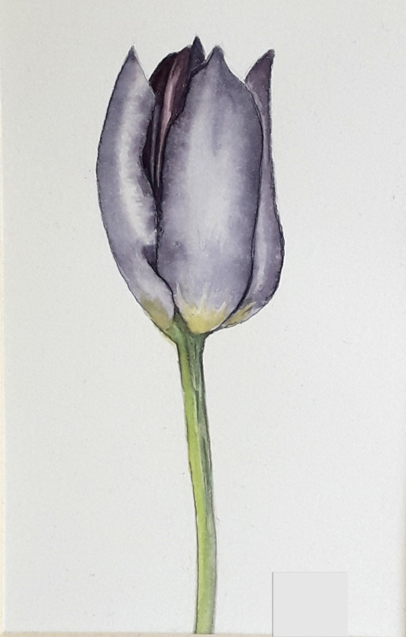 aquarel-tulp