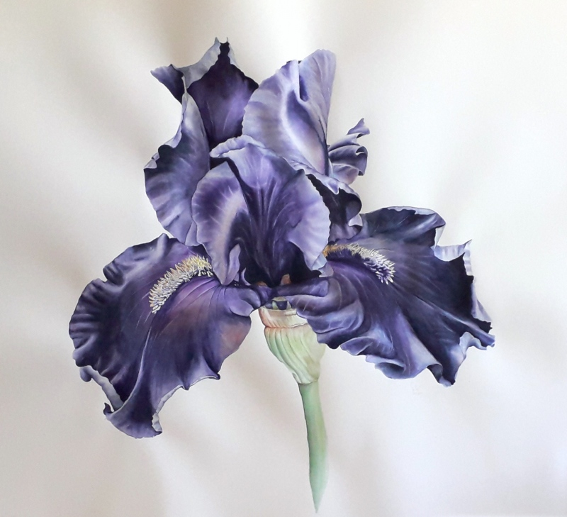 bearded-iris-aquarel