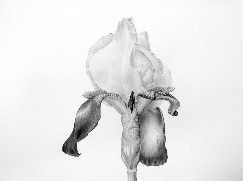 bearded iris  aquarel