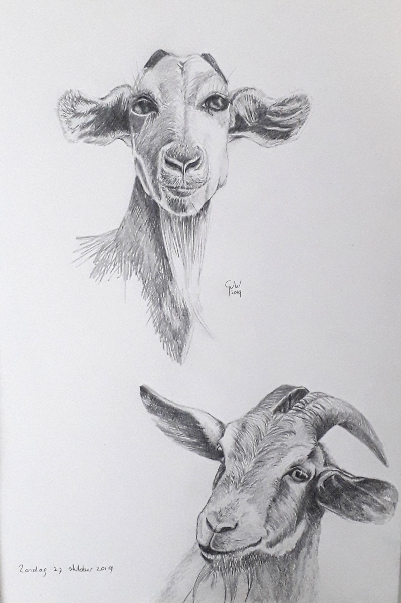 goats pencil drawing