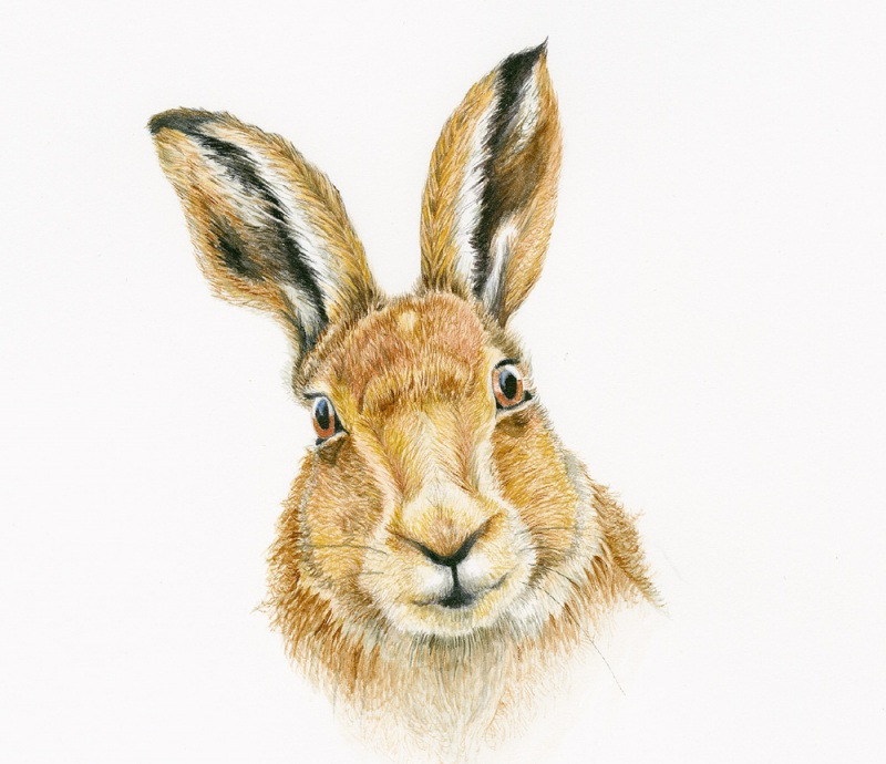 hare_brown_friendly_face