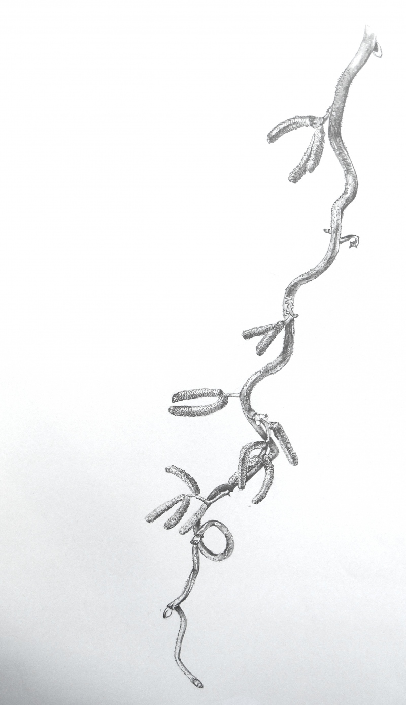 hazel-tree-pencil