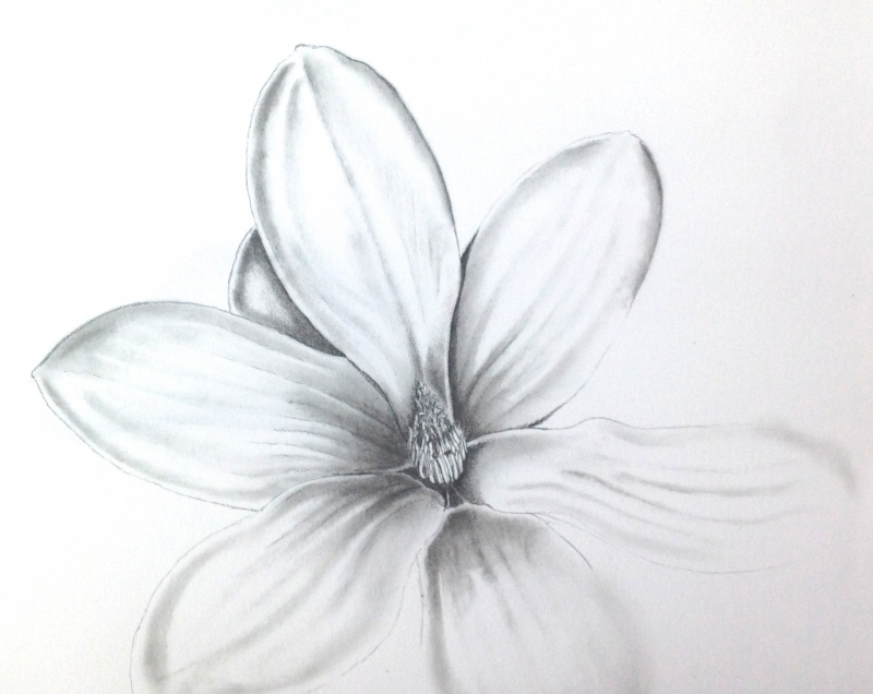 magnolia-flower-pencildrawing