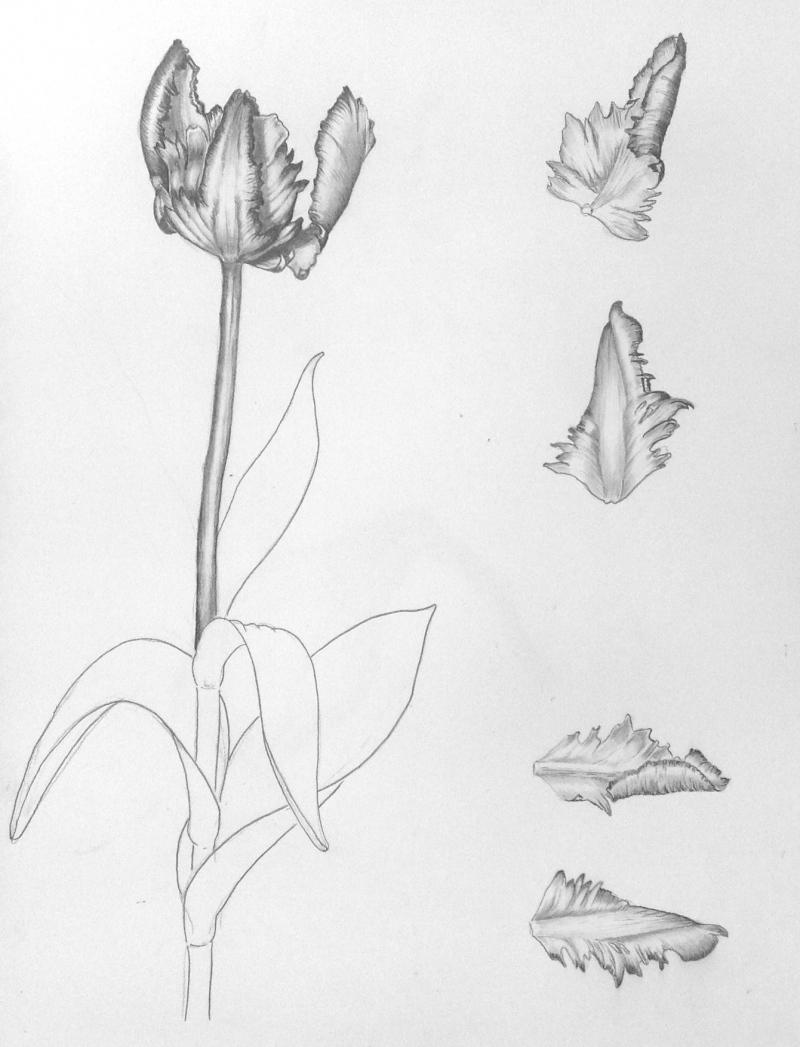 parrot-tulip-pencildrawing