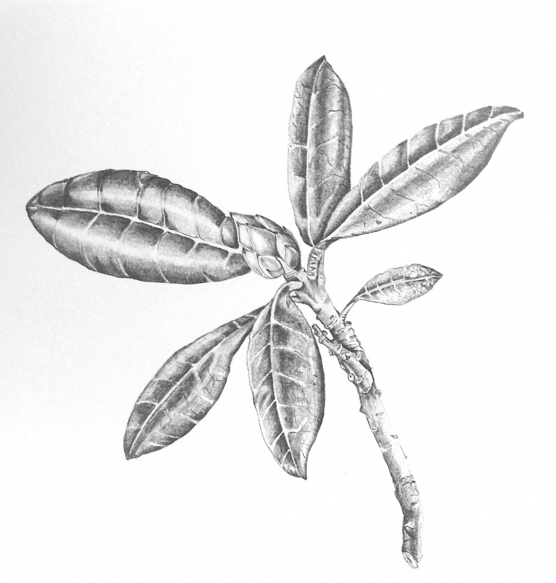 rhododendron-pencil