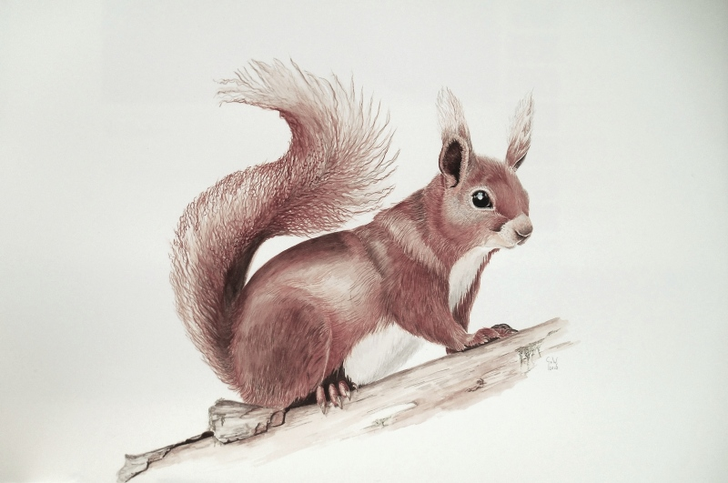 squirrel aquarel