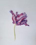 parrot-tulip