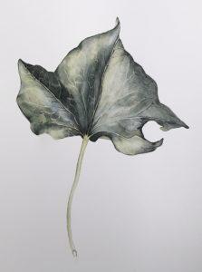 hedera leaf