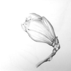 magnoliabud