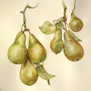 pears in aquarel hanging on tree branch